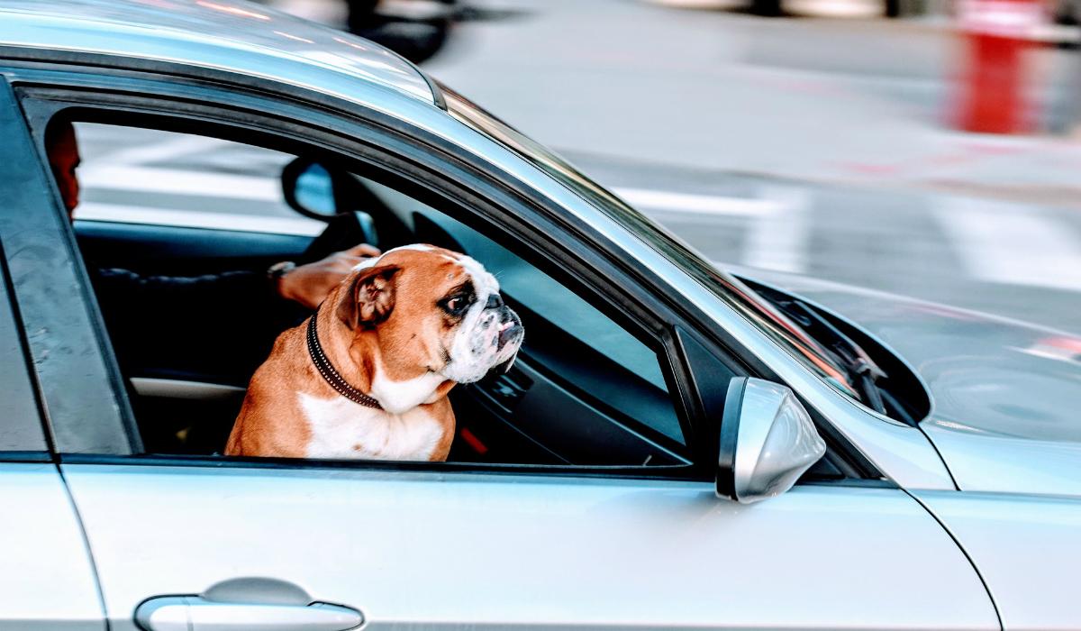 Estudo mostra que condutores são mais cuidadosos quando acompanhados pelos cães