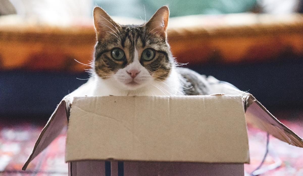 Descubra o motivo que explica o encanto dos gatos por caixas de cartão